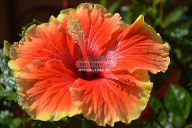 Vendita piante da esterno a pistoia greenhouse garden for Piante colorate da esterno