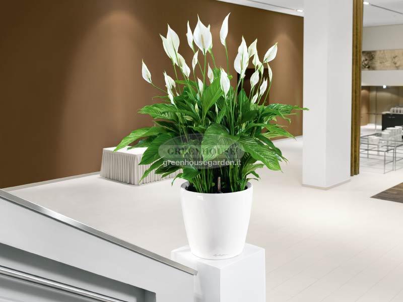 Piante Fiorite Da Interno : Piante fiorite